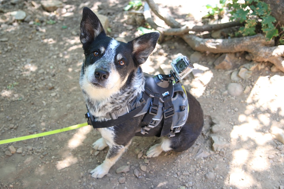 look for dog harness