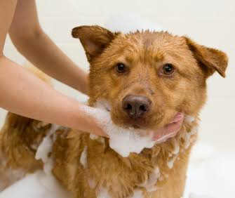 How to give a flea bath to your dog or cat